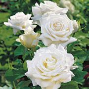 Rose Pope John Paul II Hybrid Tea