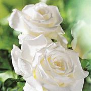 Pope John Paul II Hybrid Tea Rose