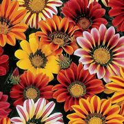 Sunshine Mix Gazania Flower Seeds