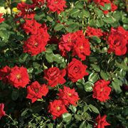 Latest Flame Hedge Rose