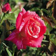 Hypnotized! 24-inch Tree Rose