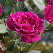 Heroes Rose 24-inch Patio Tree Rose