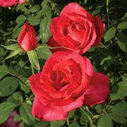 Astounding Glory 24-inch Tree Rose