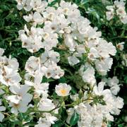 Snowcone Shrub Rose