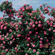 America™ Climbing Rose