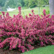 Sonic Bloom™ Pink Weigela