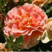 Caribbean Breeze Floribunda Rose