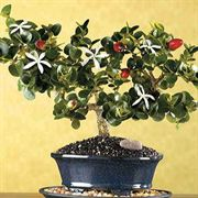 Fragrant Natal Plum Bonsai