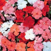 Accent Sunrise Hybrid Mix Impatiens Flower Seeds