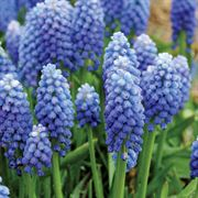 Ocean Magic Grape Hyacinth - Pack of 10