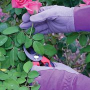 Womens Purple Guardian Rose Gloves
