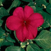 Shady Lady Burgundy Hybrid Impatiens Seeds