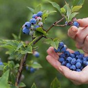 Sharpblue Blueberry Shrub
