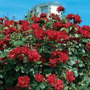 Don Juan Climbing Rose image