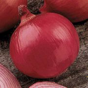 Red Zeppelin Hybrid Onion Plants