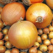 Big Daddy Hybrid Onion Plants