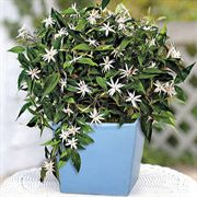 Cloudless Skies Jasmine Gift