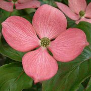 Heart Throb Cornus Chinese Dogwood Tree