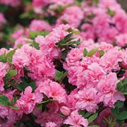 Azalea Bloom-a-Thon® Double Pink