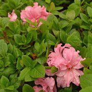 Azalea Bloom-a-Thon® Double Pink Alternate Image 3