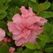 Azalea Bloom-a-Thon® Double Pink Alternate Image 4