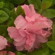 Azalea Bloom-a-Thon® Double Pink Alternate Image 5