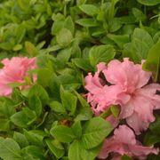 Azalea Bloom-a-Thon® Double Pink Alternate Image 6