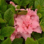Azalea Bloom-a-Thon® Double Pink Alternate Image 7