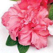 Azalea Bloom-a-Thon® Double Pink Alternate Image 8