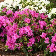 Azalea Bloom-a-Thon® Lavender Alternate Image 3