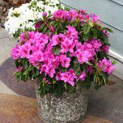 Azalea Bloom-a-Thon® Lavender Alternate Image 5