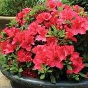 Azalea Bloom-a-Thon® Red Alternate Image 2