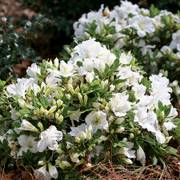Azalea Bloom-a-Thon® White Alternate Image 1