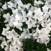 Azalea Bloom-a-Thon® White Alternate Image 2