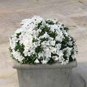Azalea Bloom-a-Thon® White Alternate Image 3