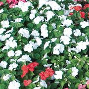Sunny Lady White Hybrid Impatiens Seeds