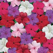 Tempo Crystal Hybrid Impatiens Flower Seeds
