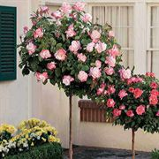 April in Paris 36-inch Standard Tree Rose
