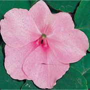 Shady Lady Pink Hybrid Impatiens Seeds