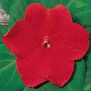 Shady Lady Red Hybrid Impatiens Seeds