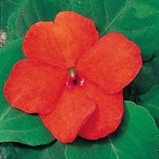 Shady Lady Tango Hybrid Impatiens Seeds