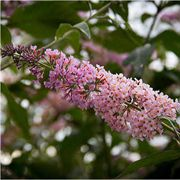 Peach Cobbler™ Butterfly Bush