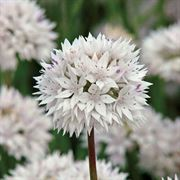 Graceful Beauty Allium - Pack of 5