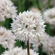 Allium Graceful Beauty