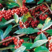 Red Gem™ Goumi Shrub