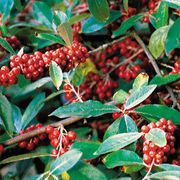 Sweet Scarlet Goumi Shrub
