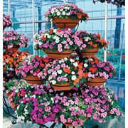 Sunny Ladies Hybrid Impatiens Flower Seeds