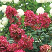 Fire Light™ Hydrangea