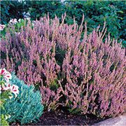 Spring Torch Heather