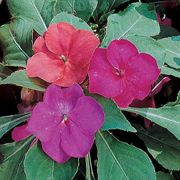 Shady Lady Glow Girl Hybrid Impatiens Seeds